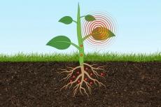 Ilmuwan pasang sensor sangat kecil di tanaman untuk deteksi arsenik
